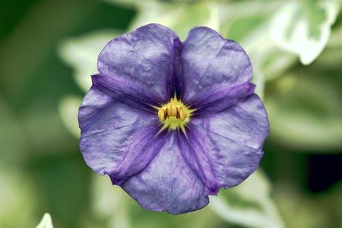 Foto profissional grátis de arbusto de batata, flor, lilás