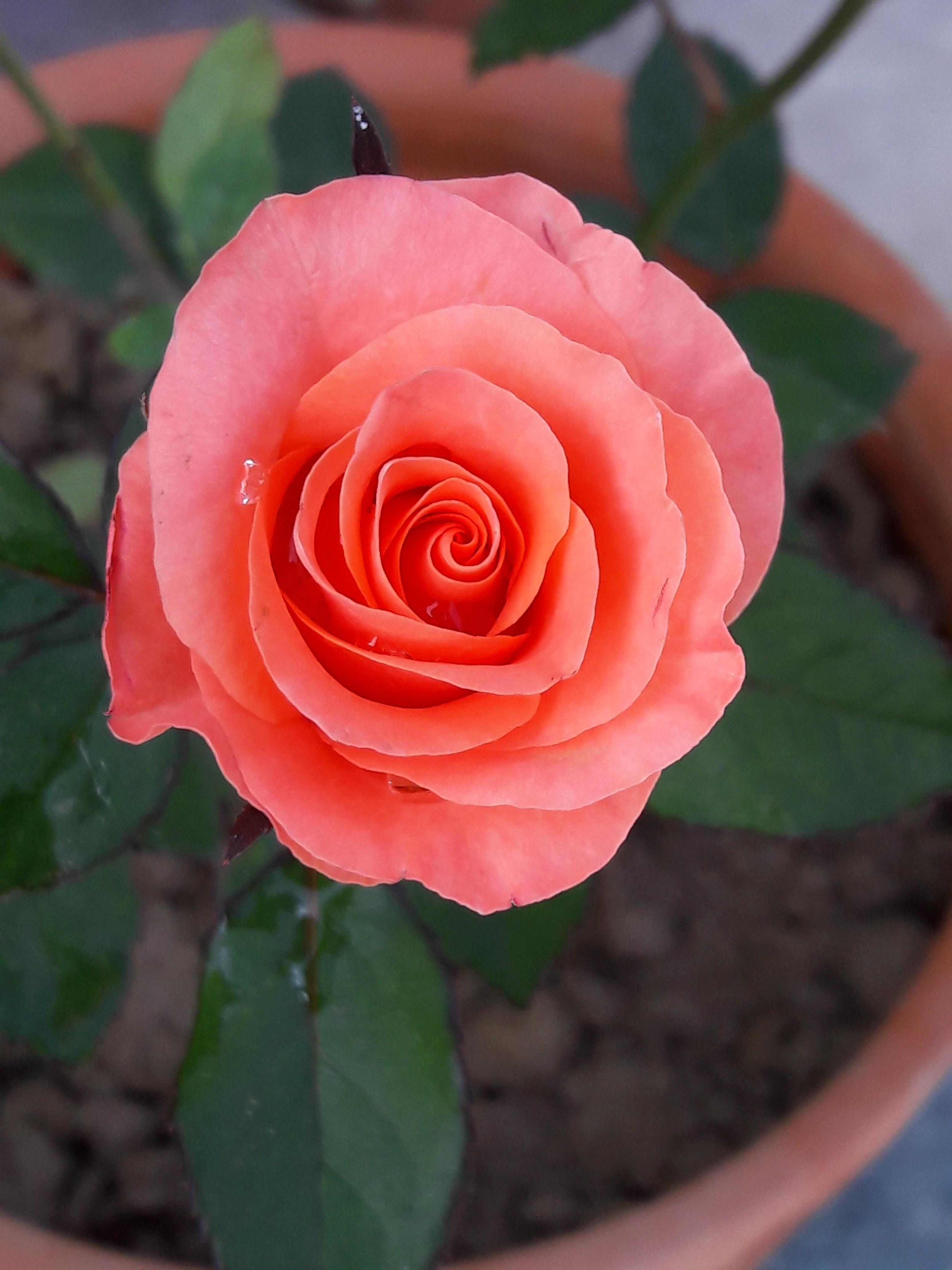 hoa hồng, những bông hoa đẹp. Nhiếp ảnh gia
