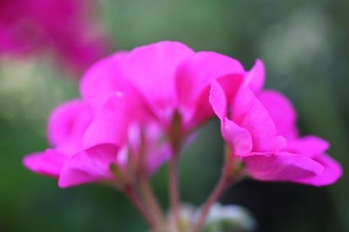 Free stock photo of bedding plants, biennial, flowers, geraniaceae