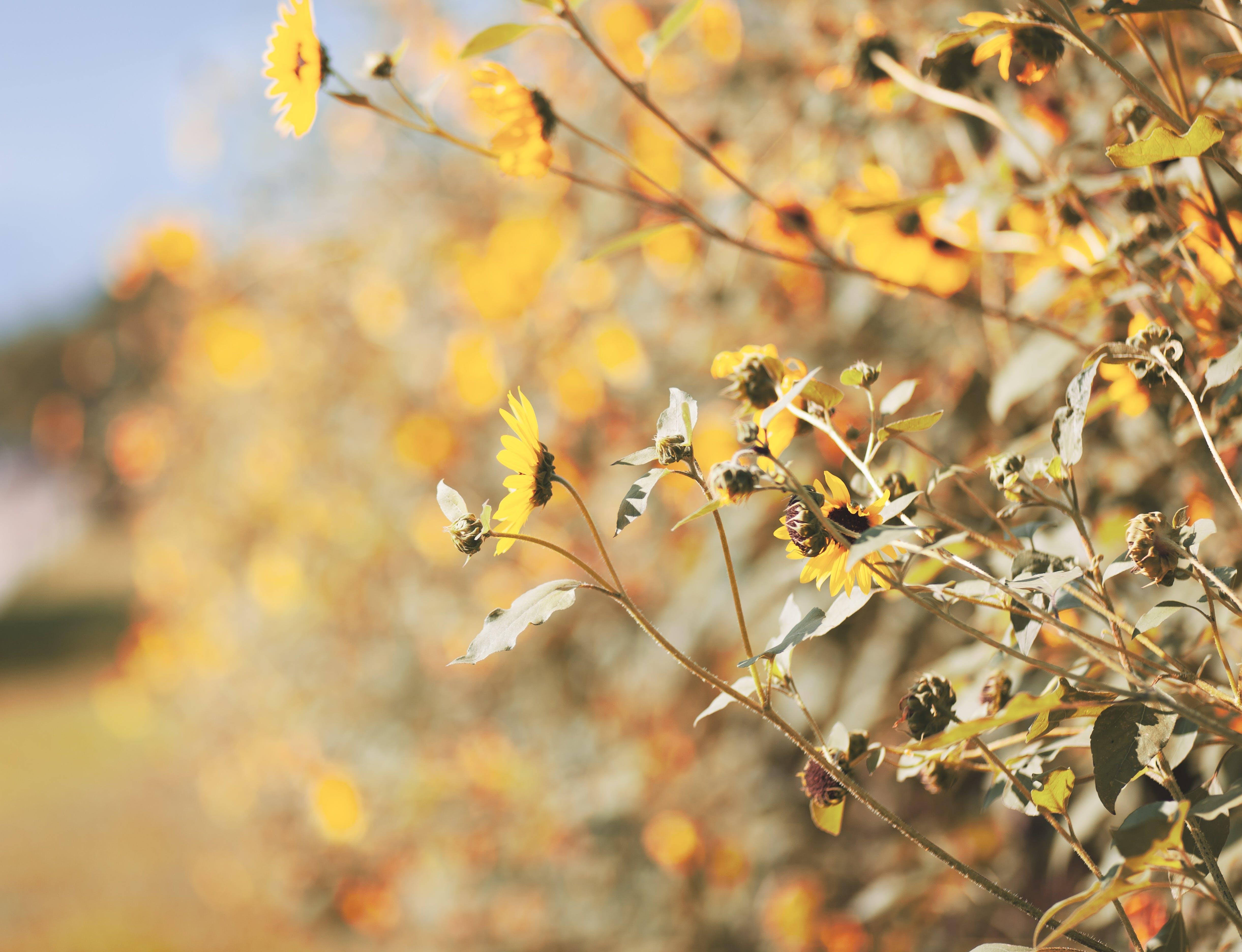 depth of field, nature, sunflower