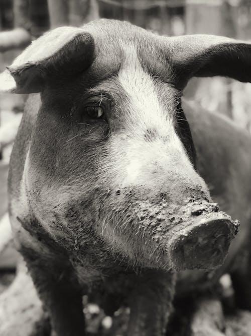 Photos gratuites de cochon, exploitation agricole
