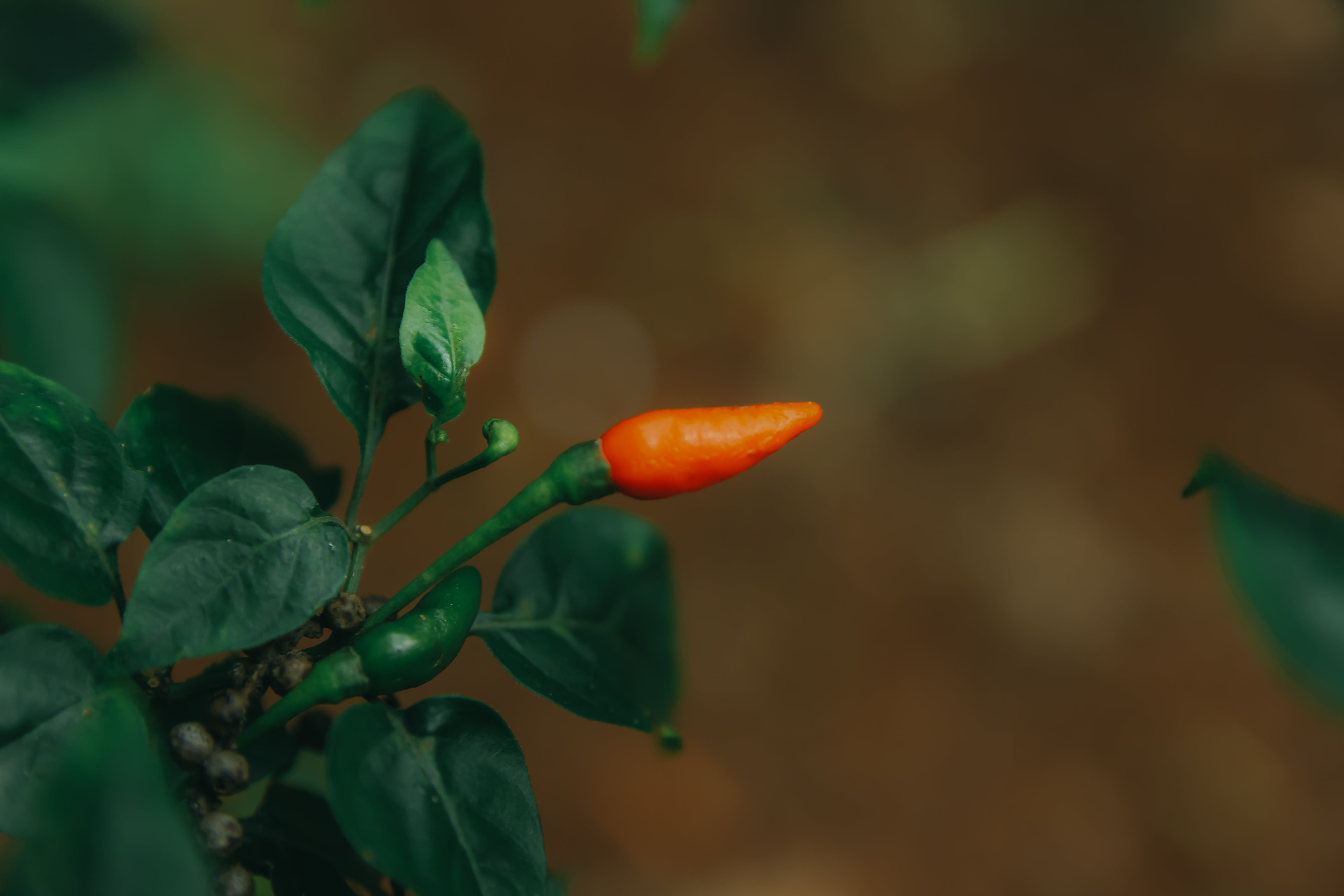 Close-Up Photography of Chili Pepper