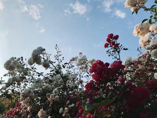 Ảnh lưu trữ miễn phí về Bông hồng đỏ, hoa, nhìn lên, những bông hoa đẹp
