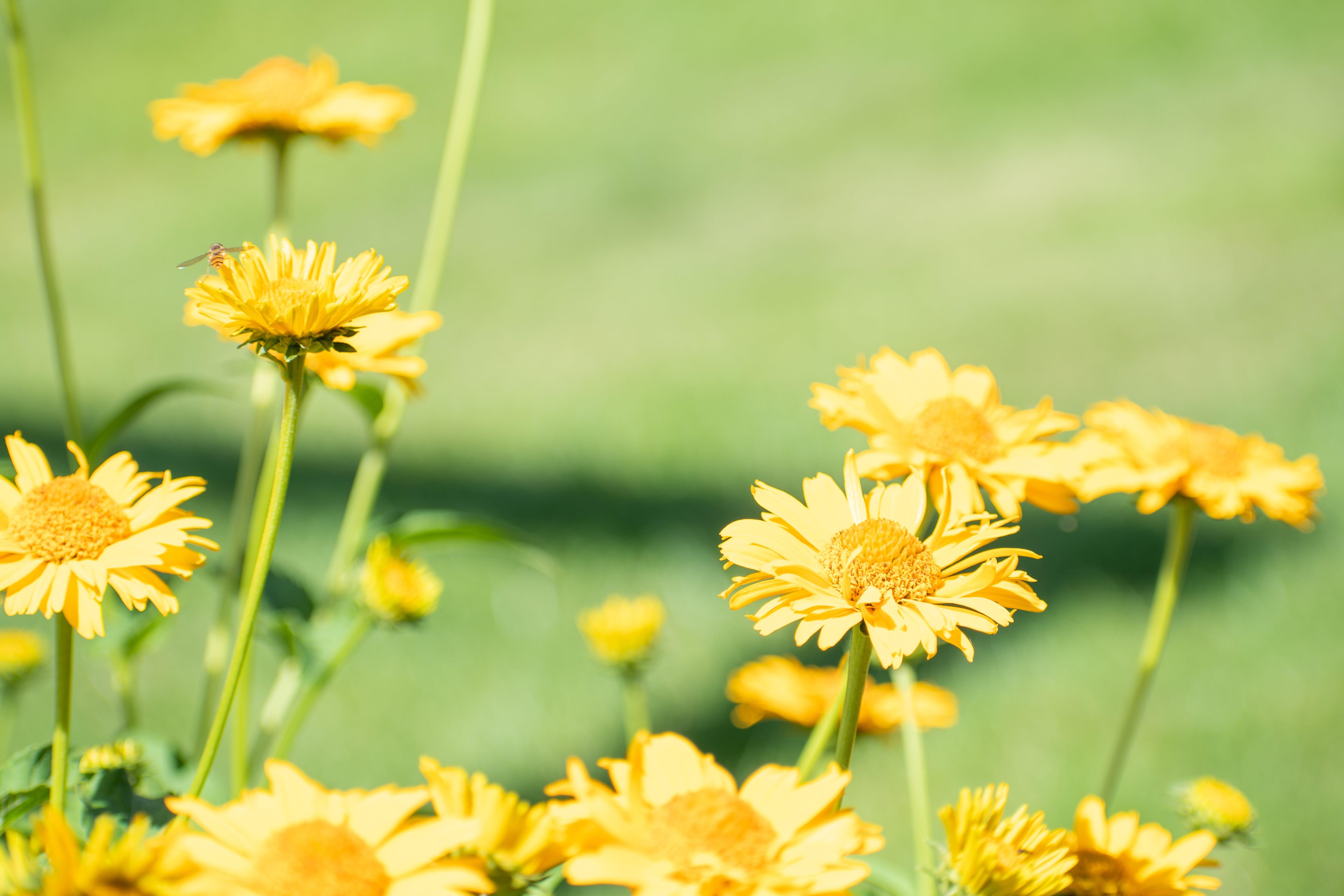 Free stock photo of bee, flowers, nature, yellow