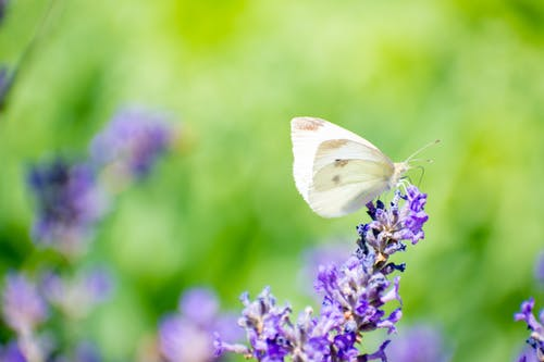 Free stock photo of butterfly, butterfly on a flower, butterfly on lavender, lavender