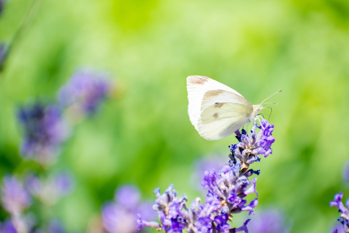 Free stock photo of butterfly, butterfly on a flower, butterfly on lavender