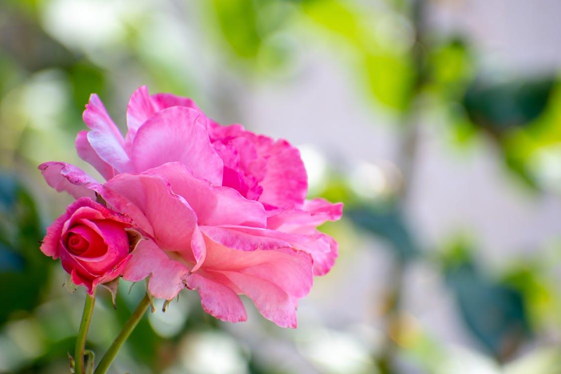Δωρεάν στοκ φωτογραφιών με βοτανικοί κήποι, όμορφα λουλούδια, ροζ και πράσινο