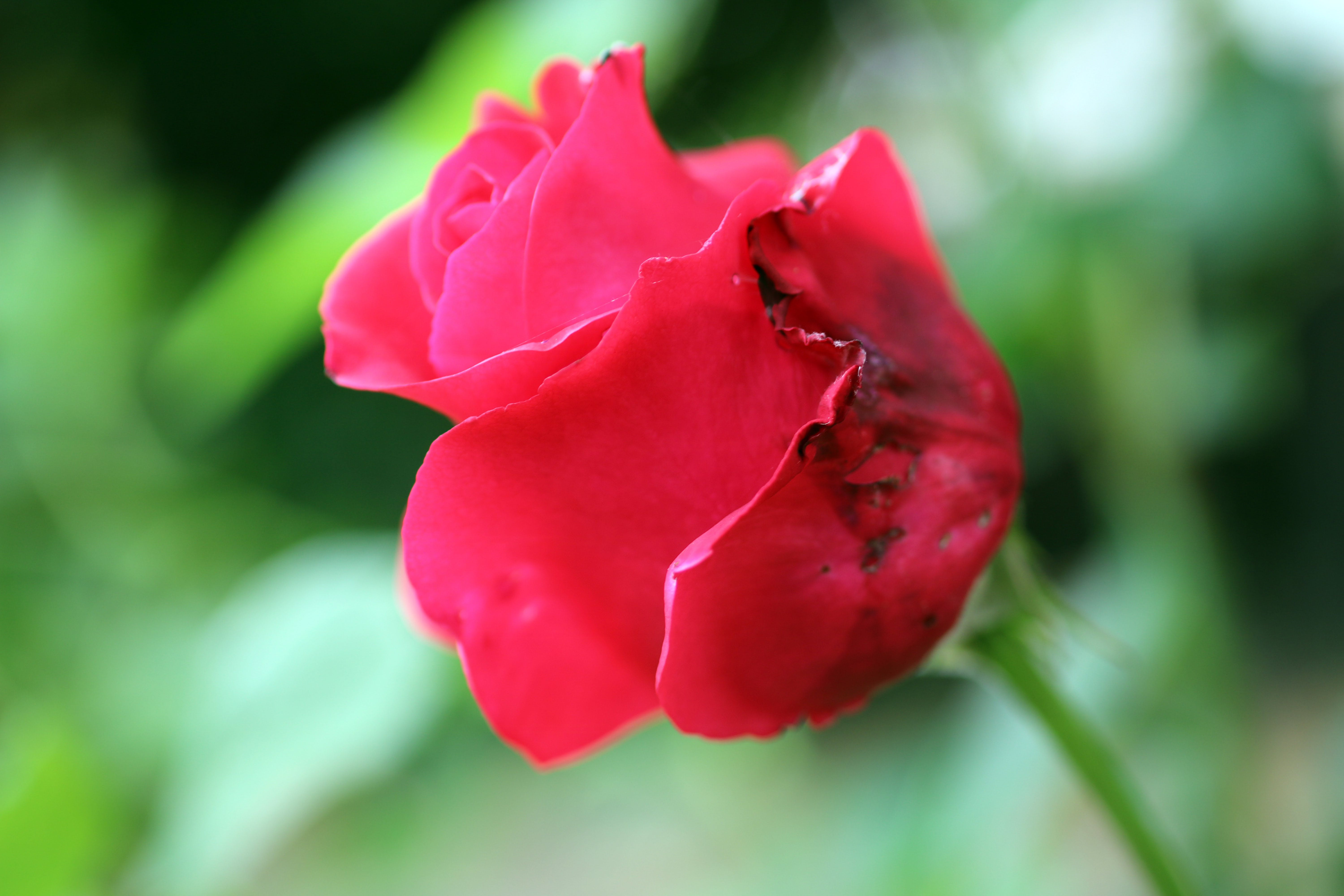 Free stock photo of dying red rose, dying rose, green, pentals