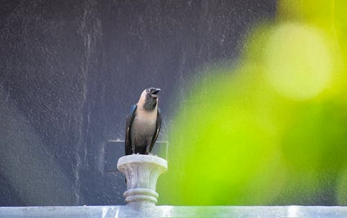 Foto profissional grátis de corvo, gralha
