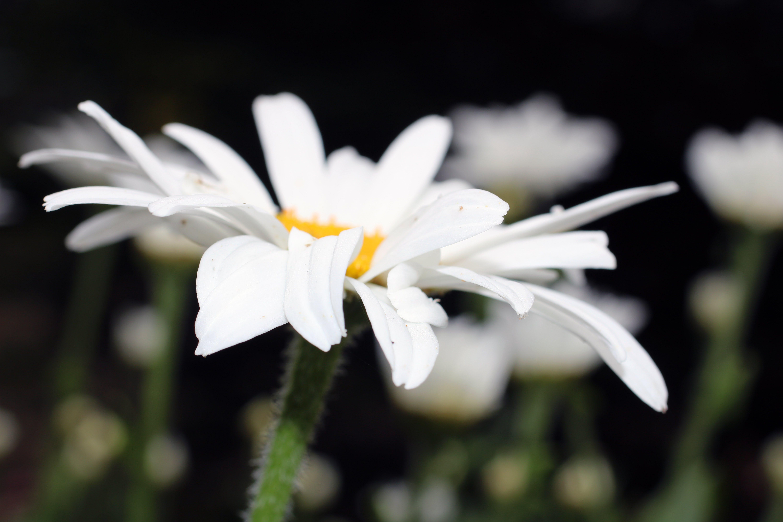 Free stock photo of bellis perennis, common daisy, daisy, english daisy