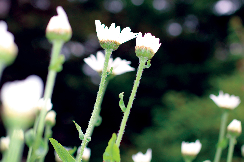 Free stock photo of bug, bugs, daisies, daisy