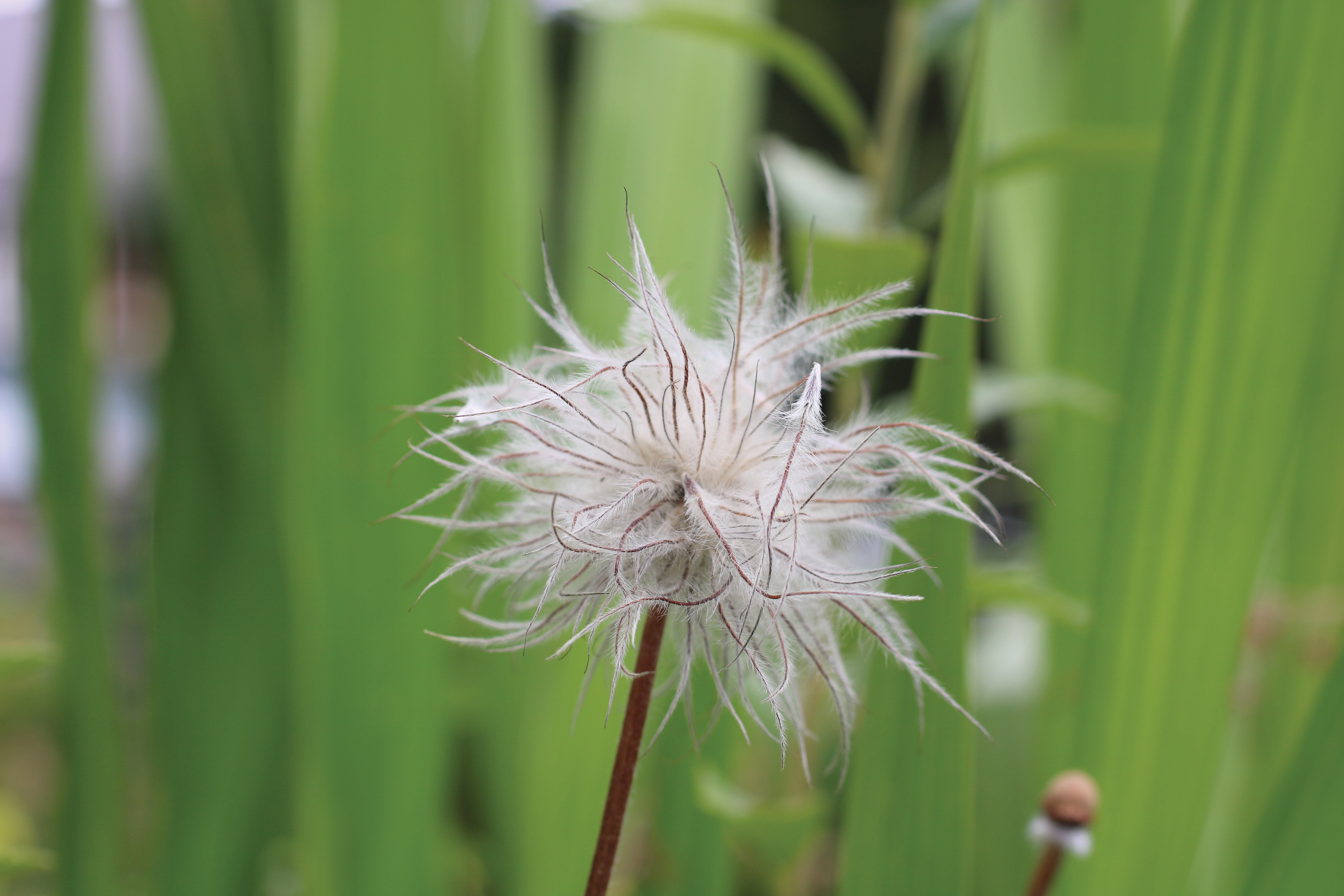Free stock photo of brown, dandelion seed, dandelion seeds, feather flowers