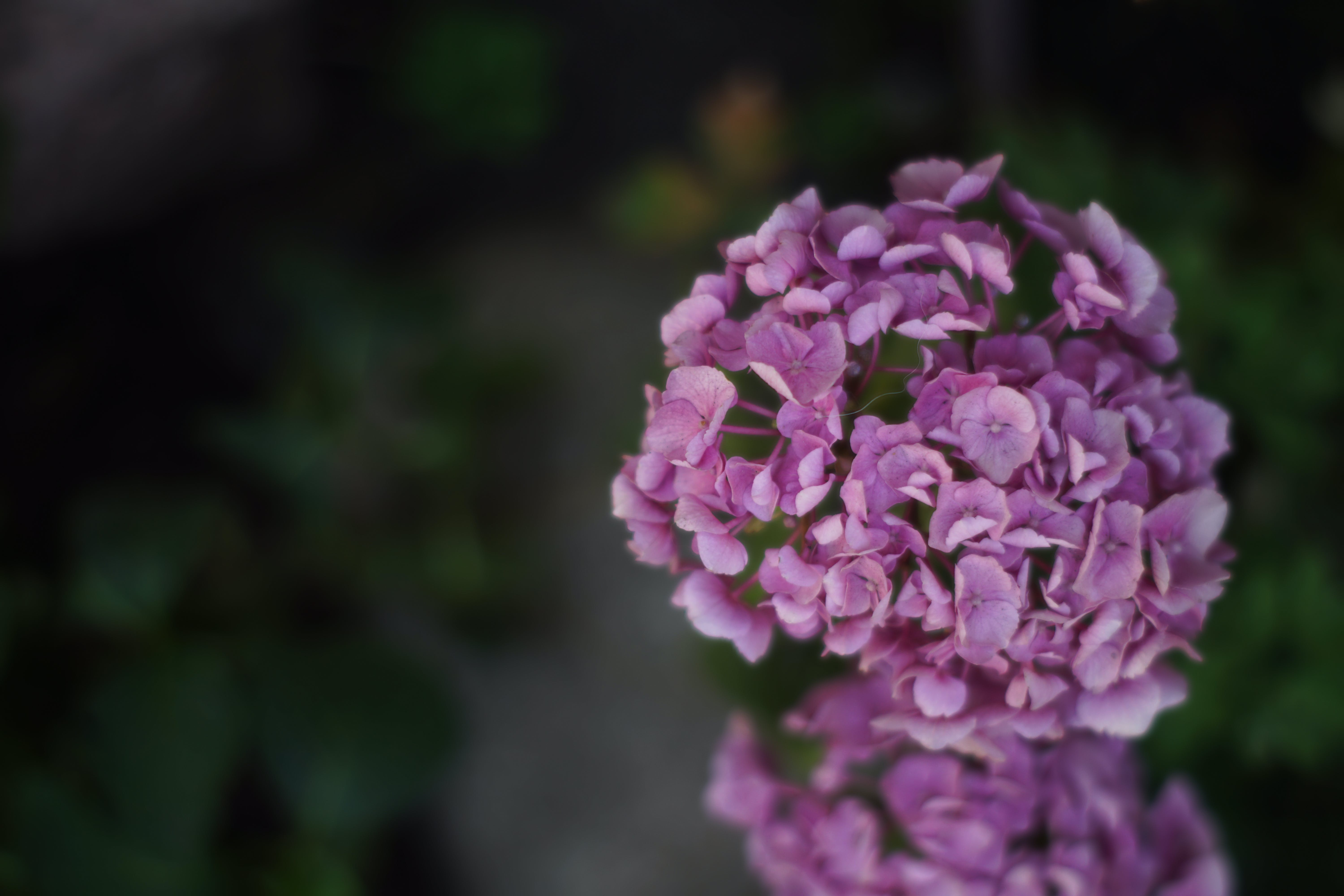 Free stock photo of natural, floral, beautiful flowers, violet flowers