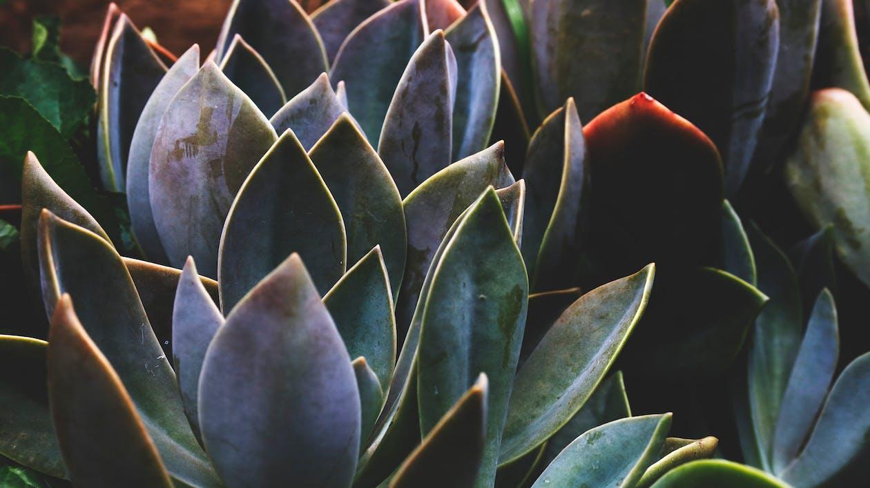 agáve, barvy, botanický