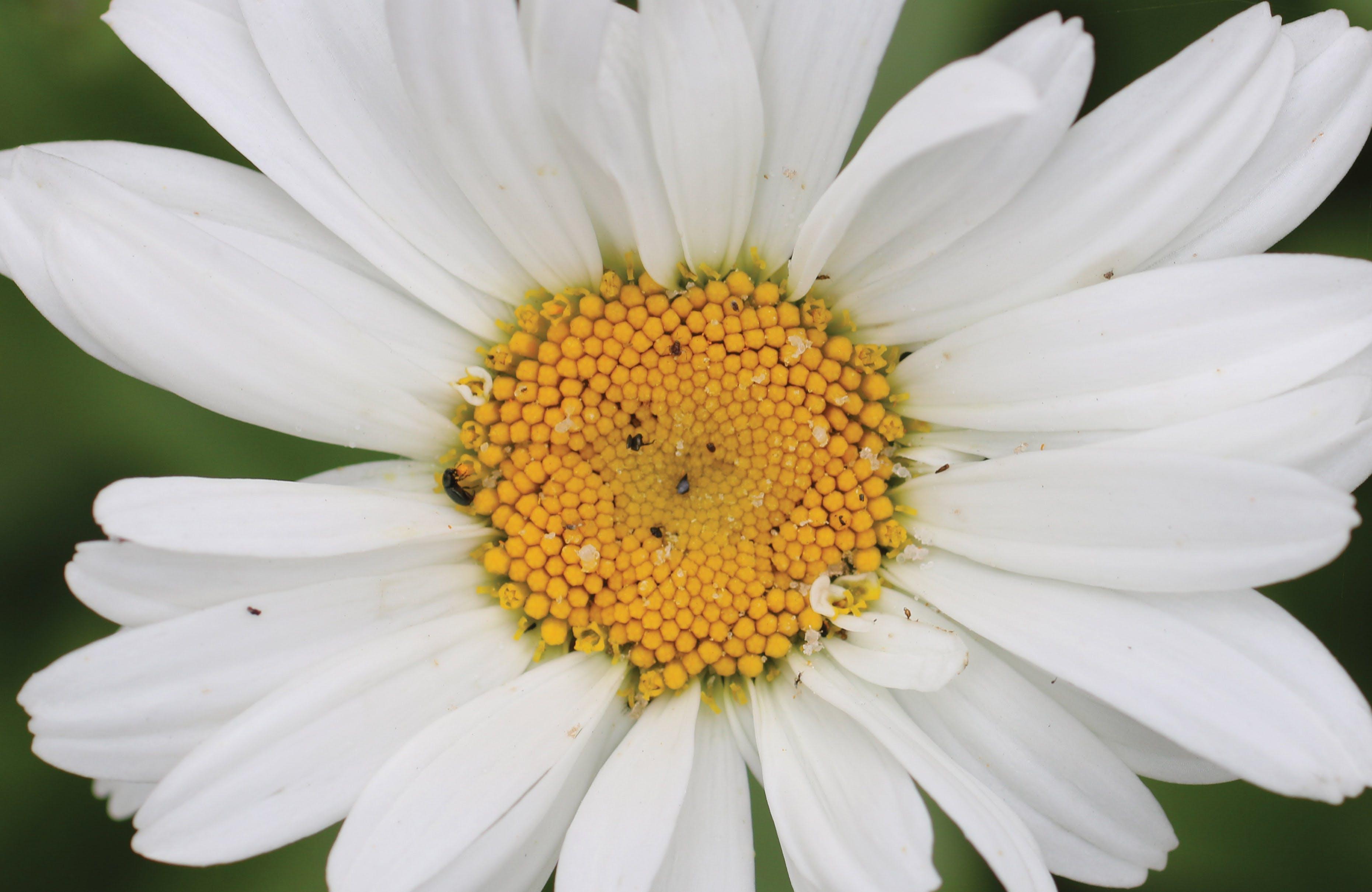 Free stock photo of black bugs, bugs, bugs on flowers, closeup daisy