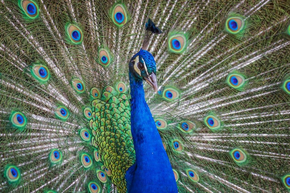 공작 깃털, 깃털
