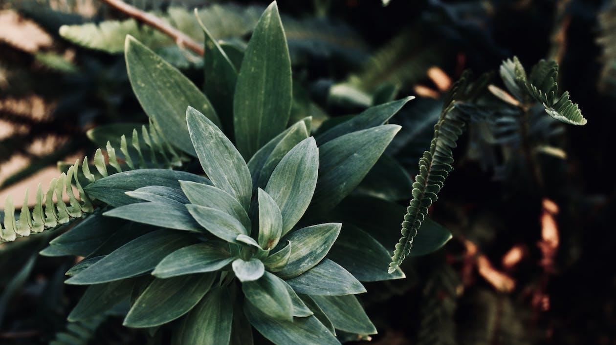 agáve, barva, rostlina