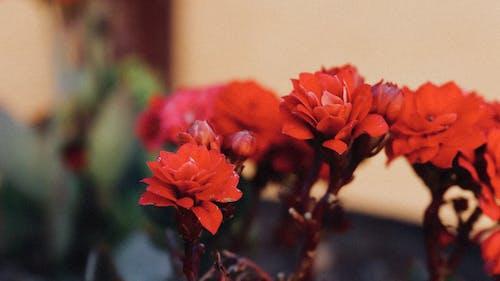 Darmowe zdjęcie z galerii z flora, kolory, kwiaty, kwitnąć