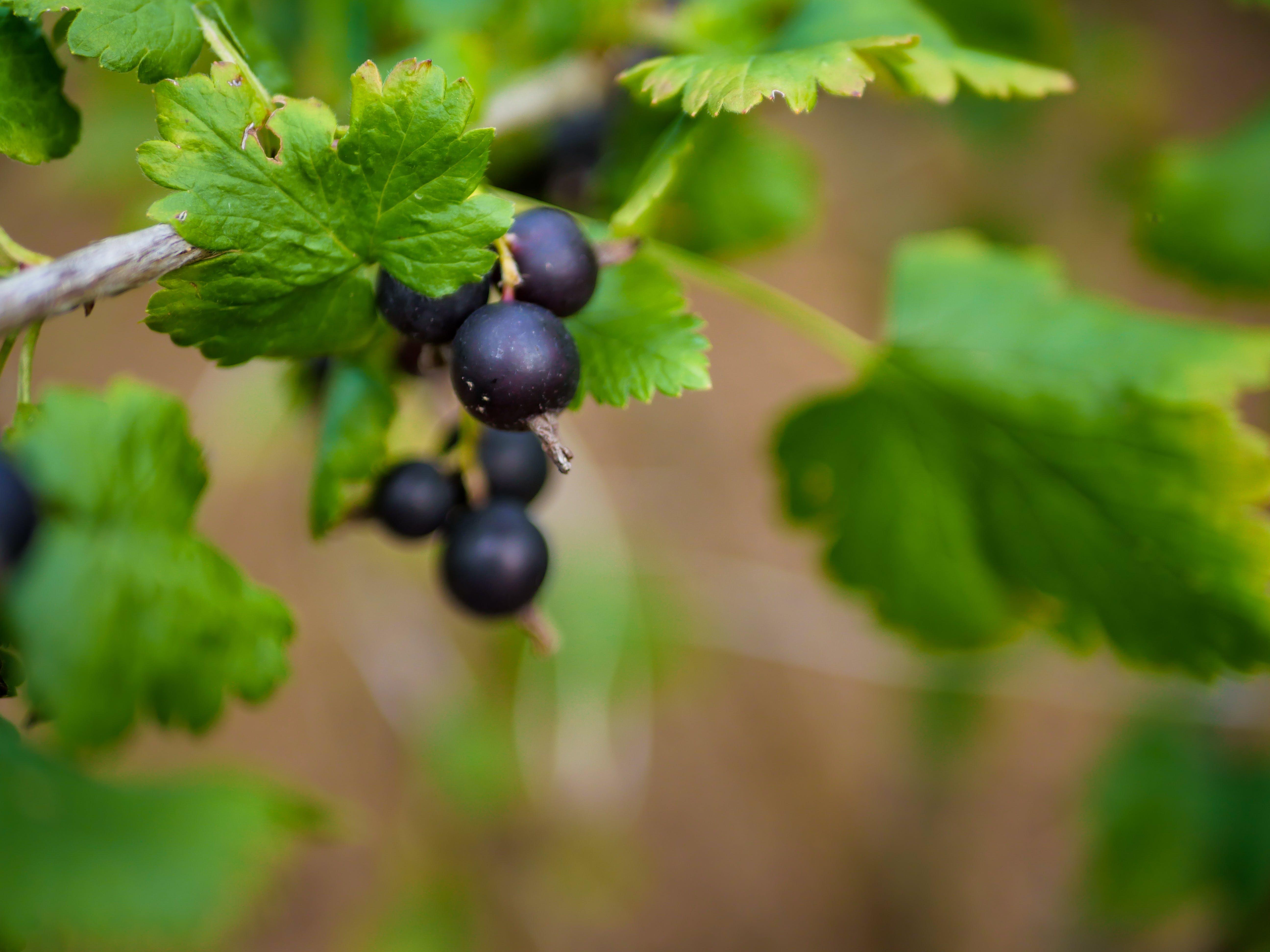 Free stock photo of blackberries, blackberry, branch, detail