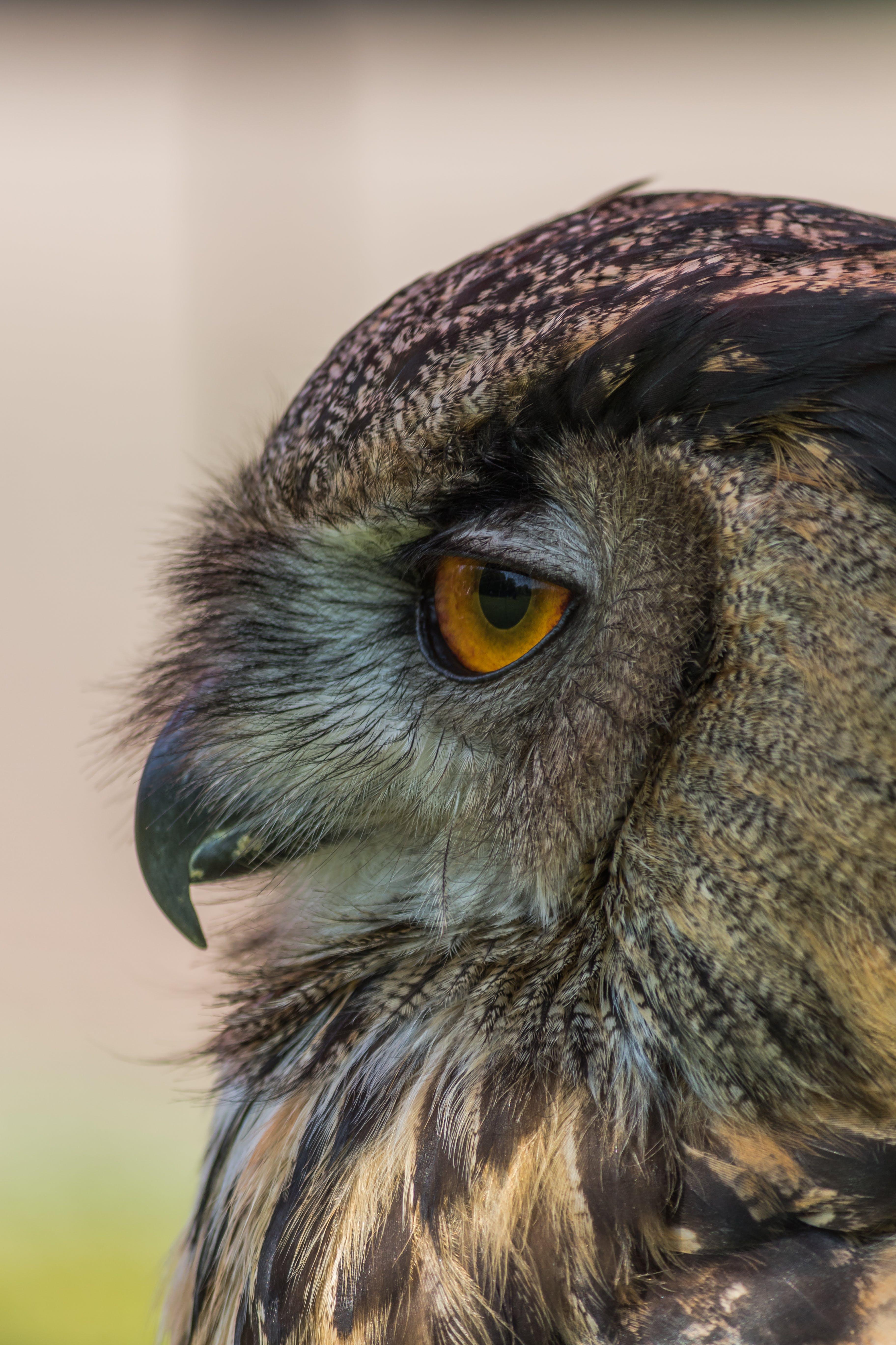 Free stock photo of owl, #birds
