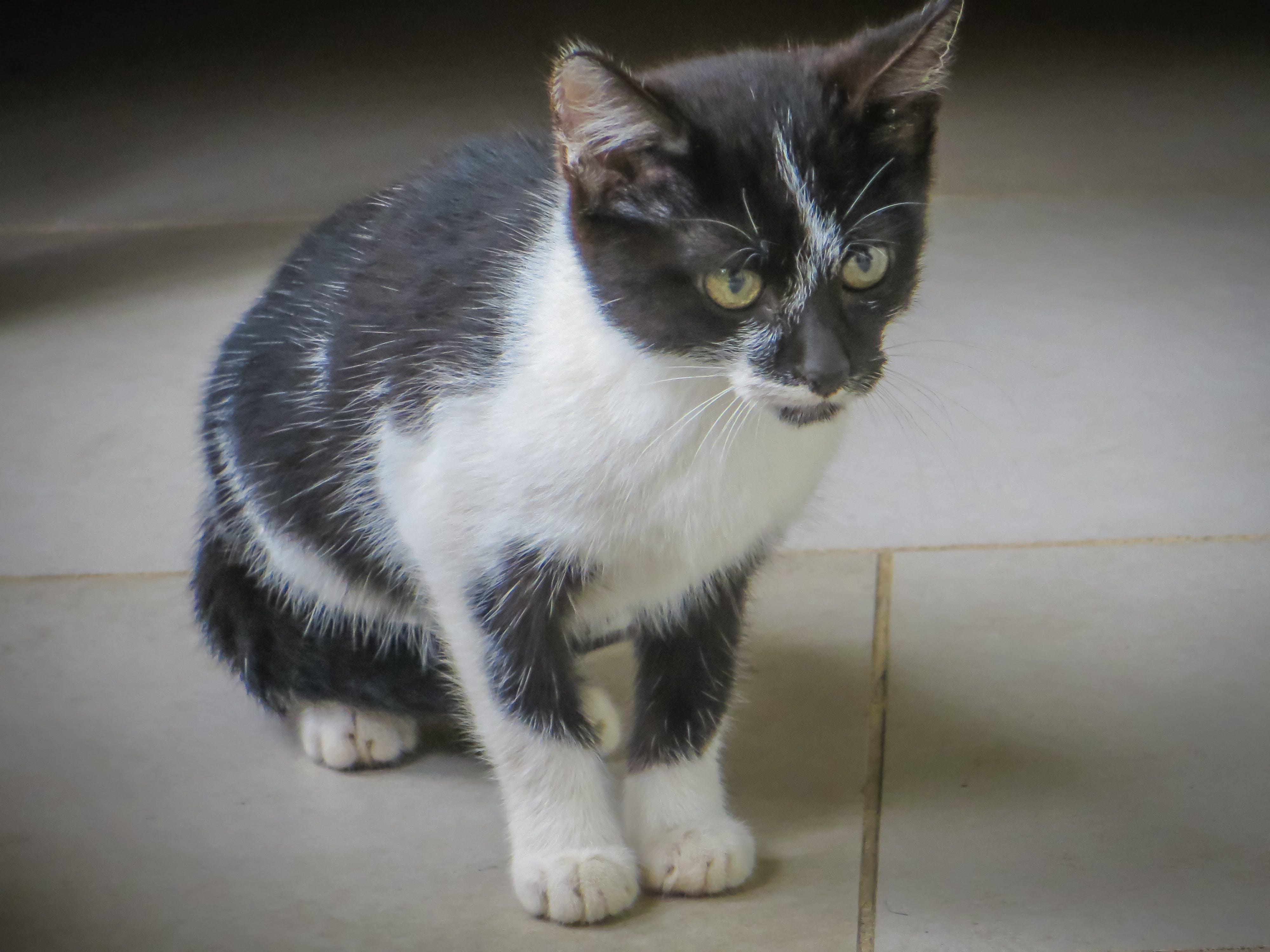 Kostenloses Stock Foto zu haustier, kätzchen, katze, klein