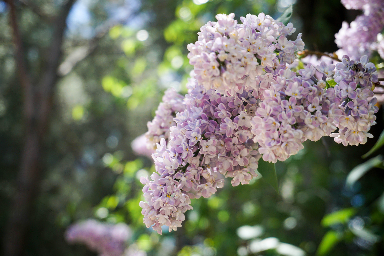 Free stock photo of flower, lilac, purple flower, purple lilac