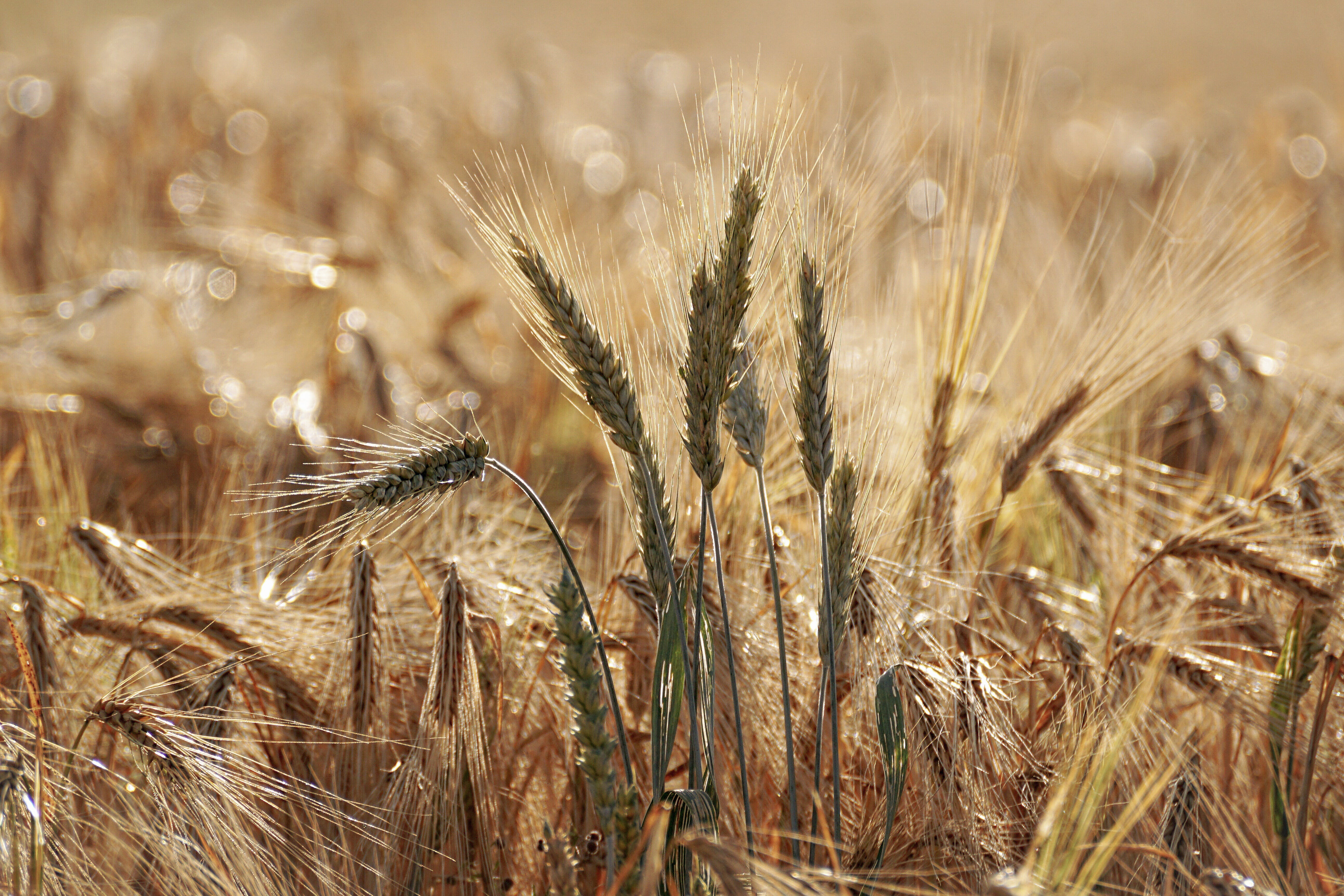 Selective Focus Photo of Wheat Field