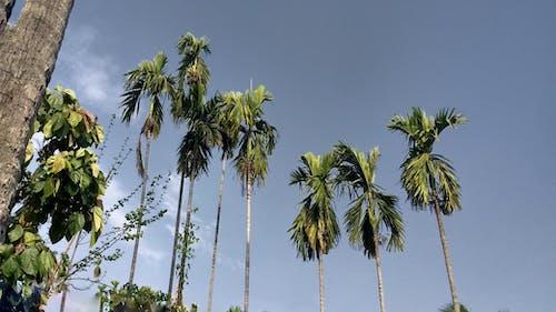 Free stock photo of Beauty of coconut trees, cocoa, coconut