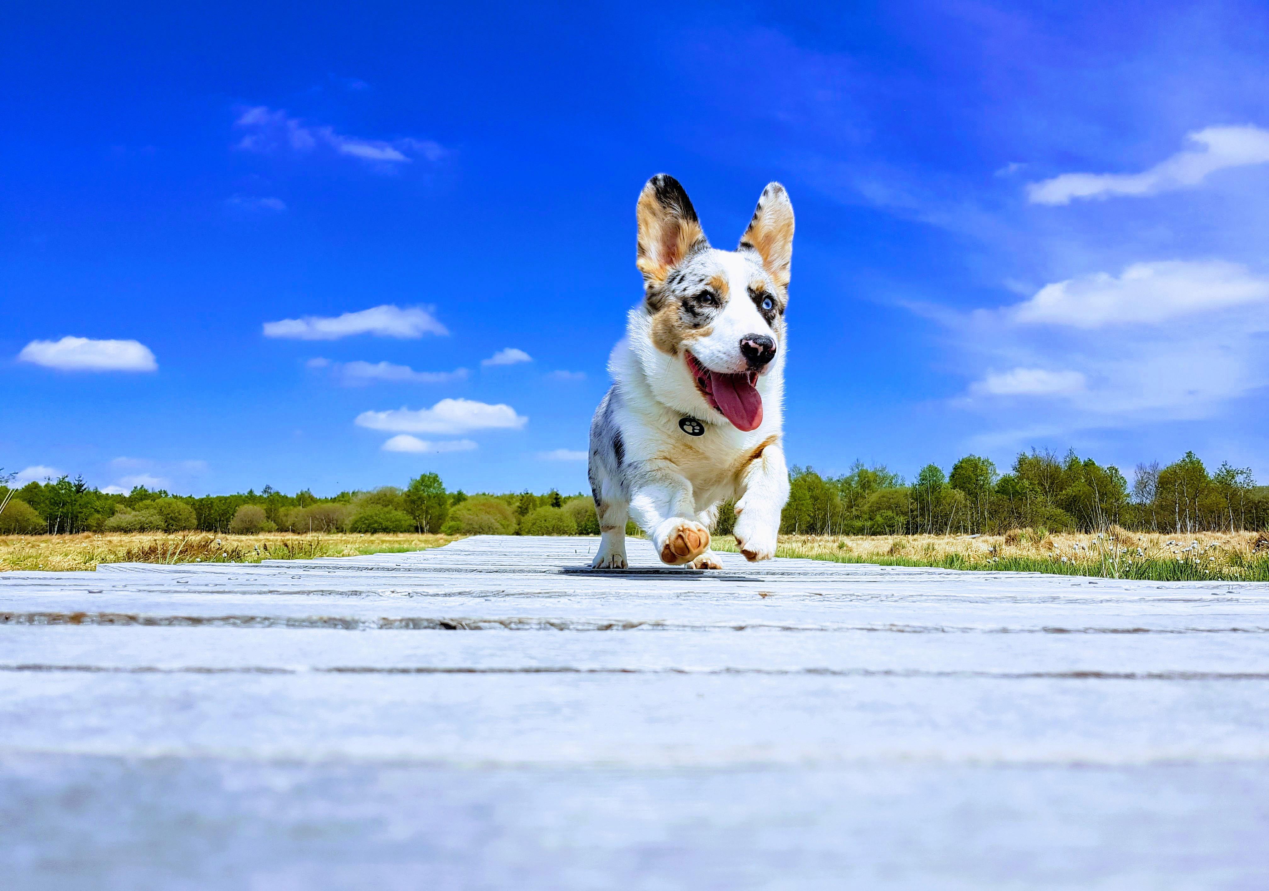 コーギー 犬 自然の無料の写真素材