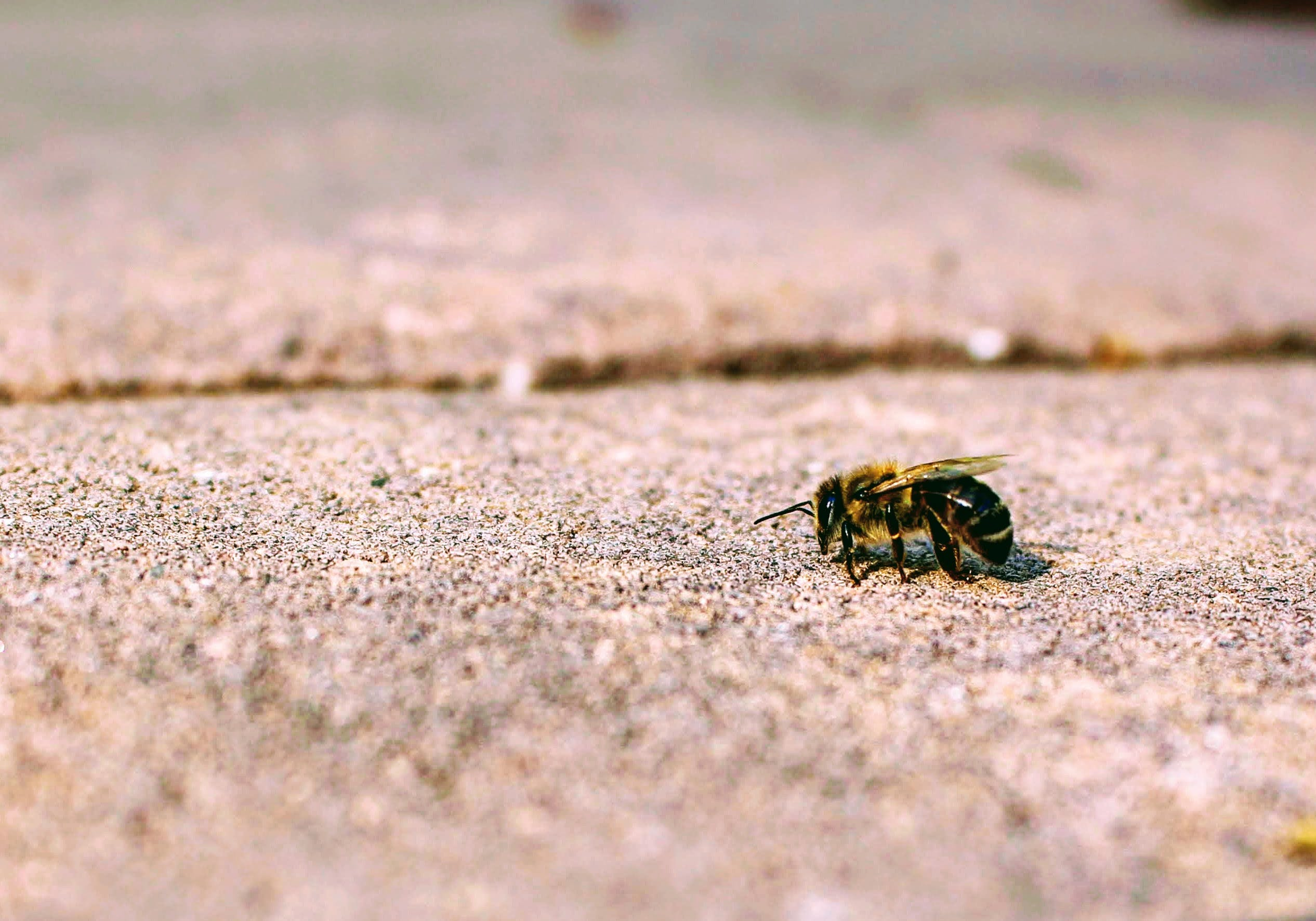 Honeybee Perching on Concrete Pavement in Close-up Photography