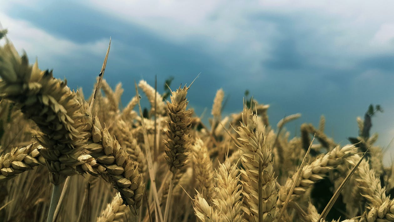 경치, 곡물, 농경지