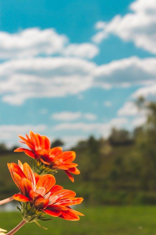 オレンジ, フラワーズ, フローラ, 咲くの無料の写真素材