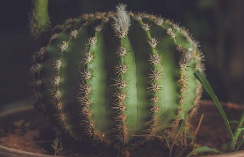 Green Ball Cactus