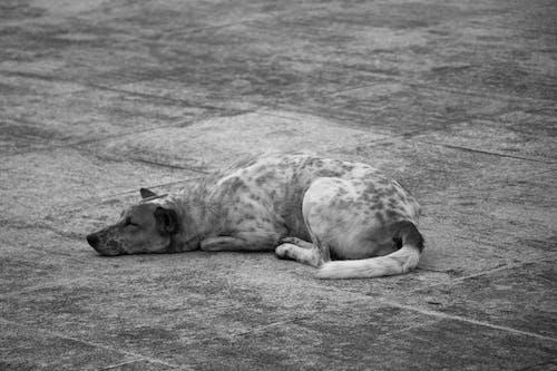 Kostenloses Stock Foto zu hund, schlafen, schlafender hund, thailand