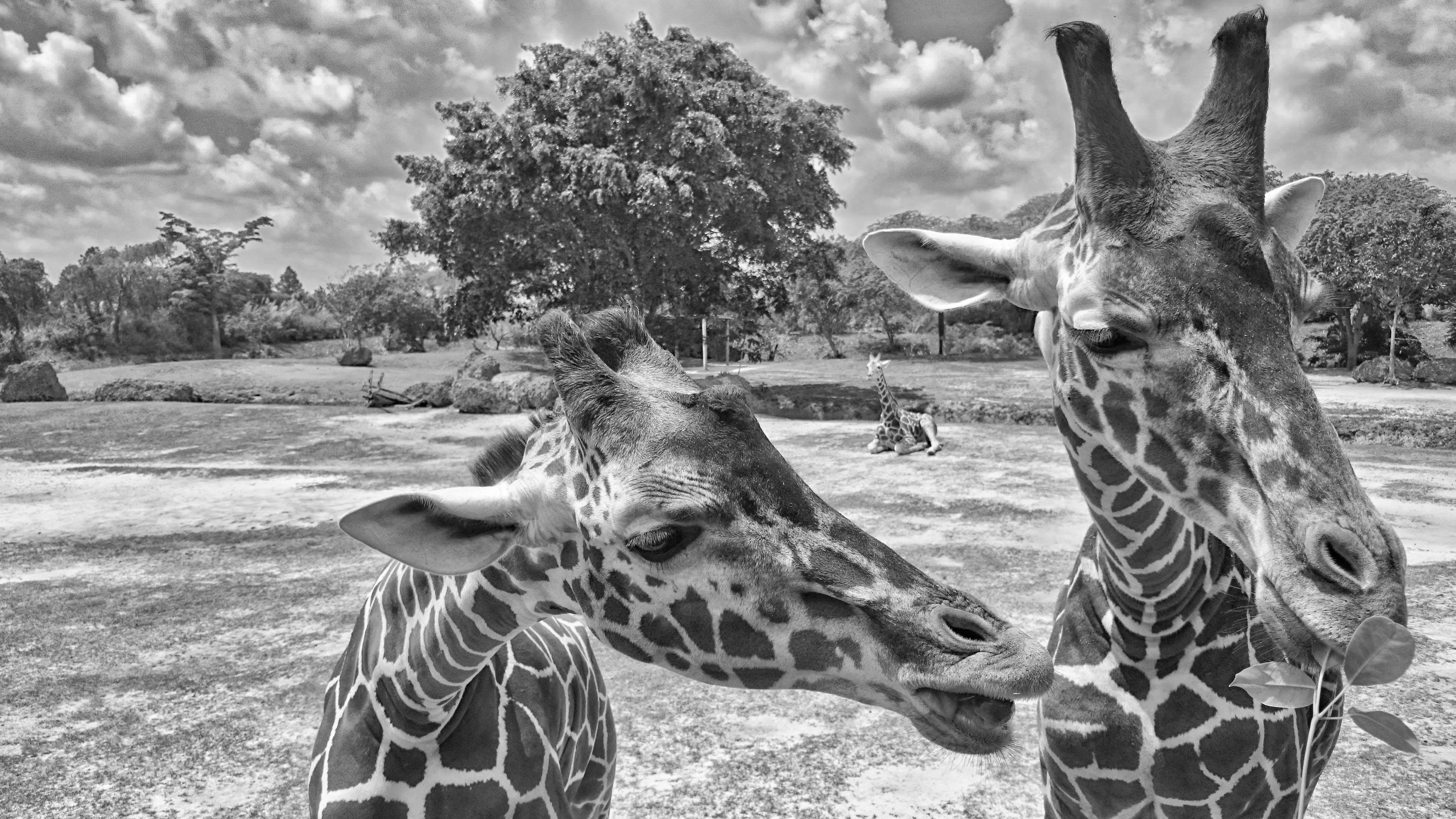 Giraffe's Head Close to Another Giraffe's Neck