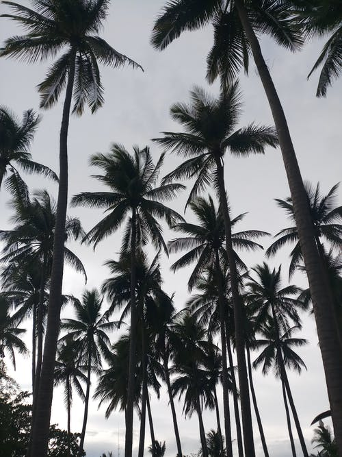 Coconut Trees Under White Sky