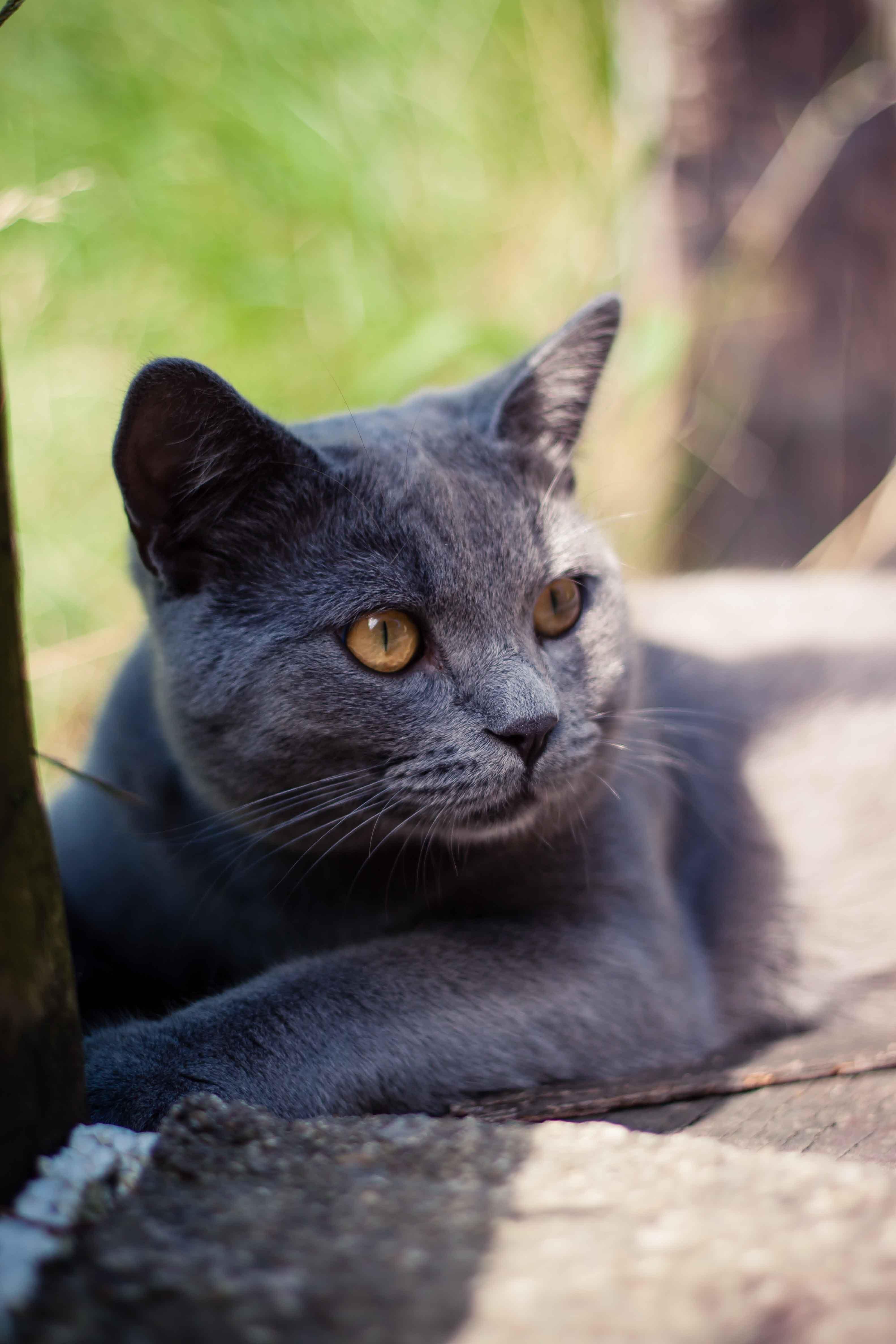 Free stock photo of animal, animal photography, britishblue, cat