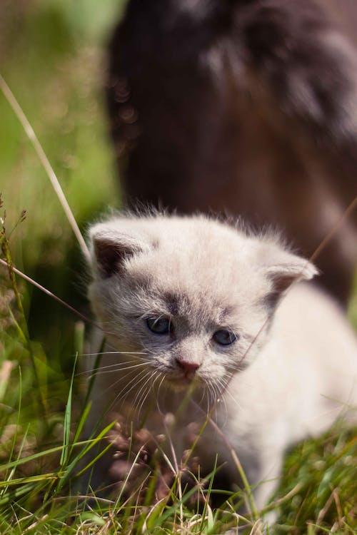 british blue lilac, dyr, kæledyr
