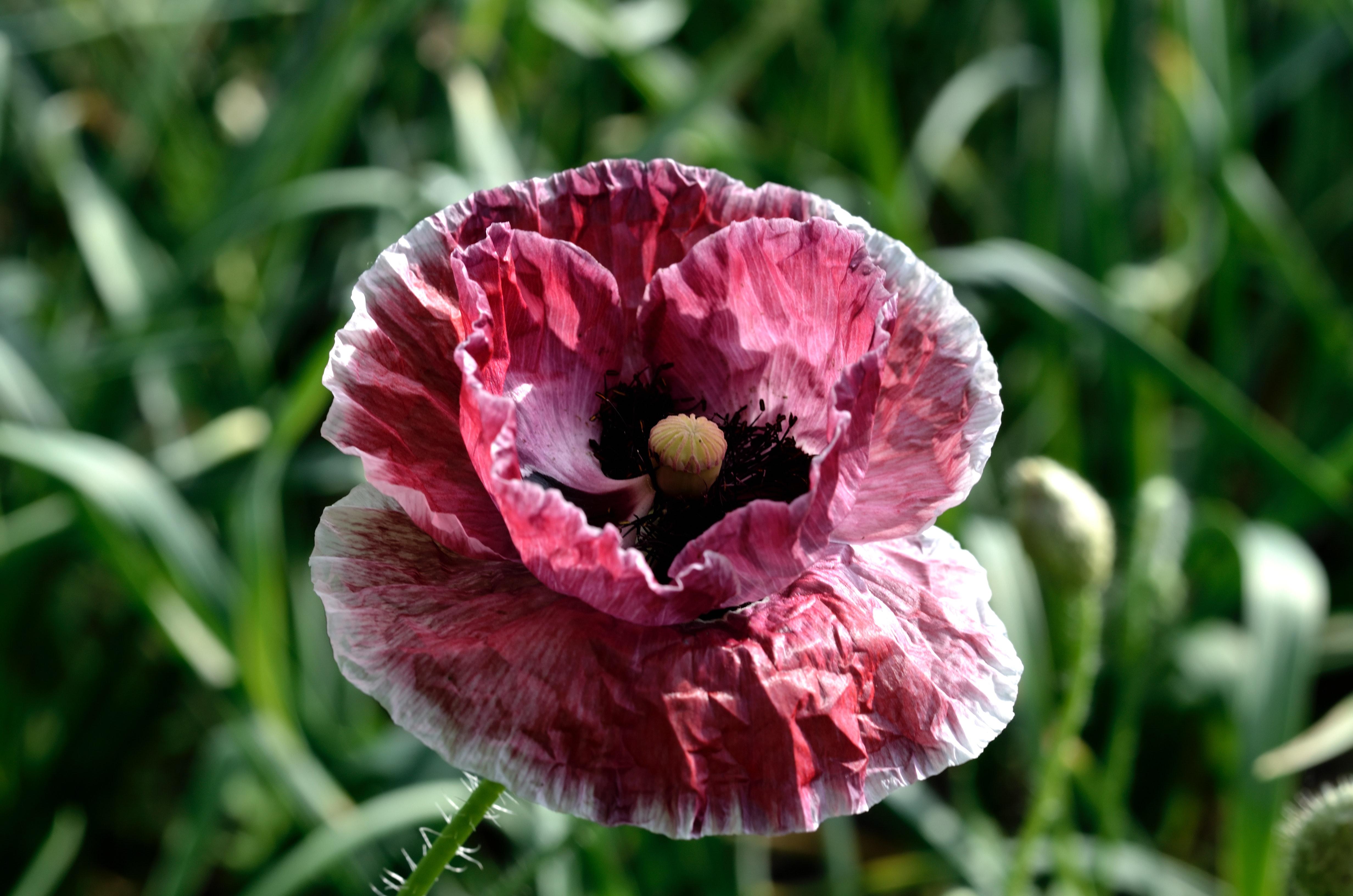 1000 interesting poppy flowers photos pexels free stock photos fetching more photos mightylinksfo