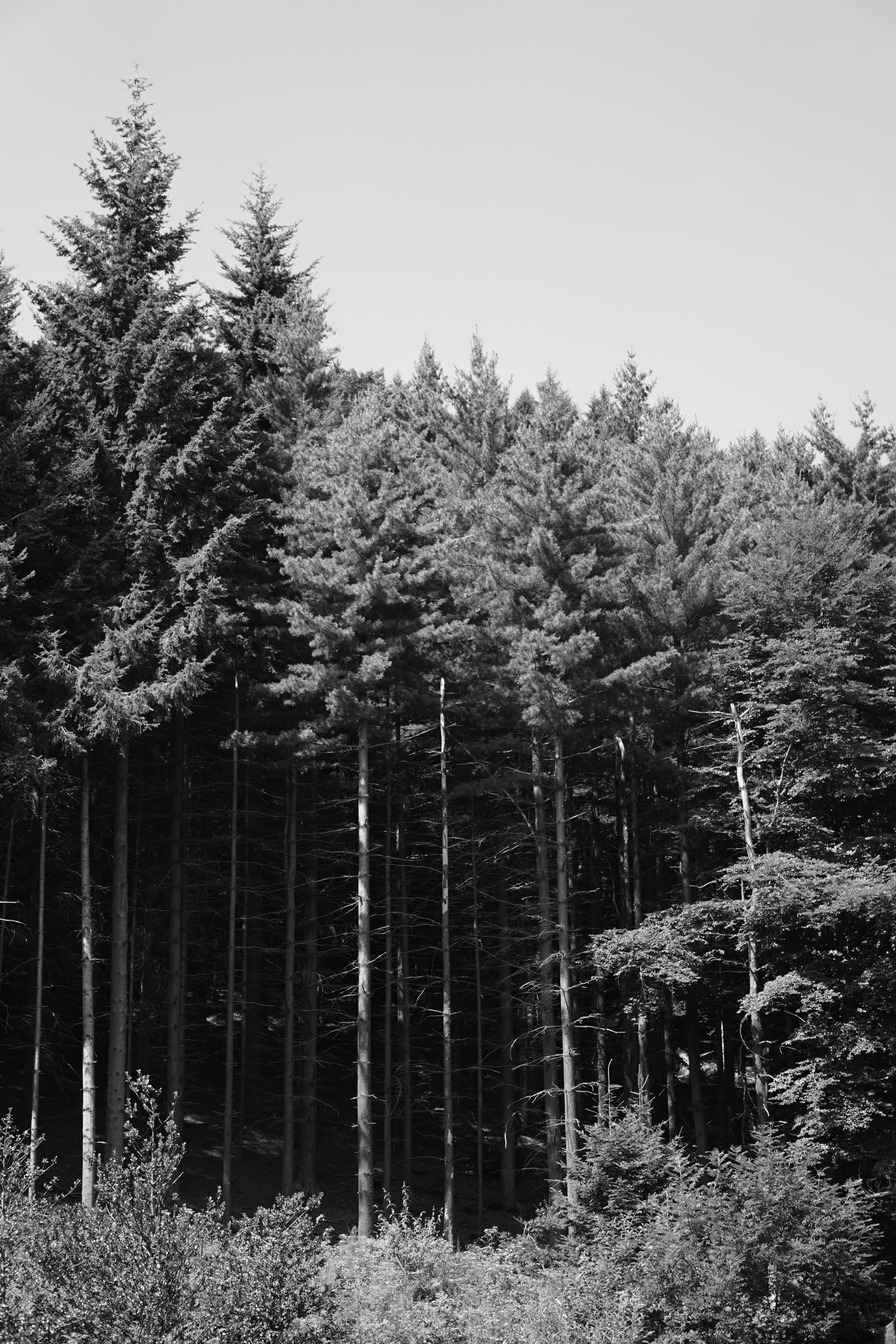 Free stock photo of #forest, #Tree, black and white, forest