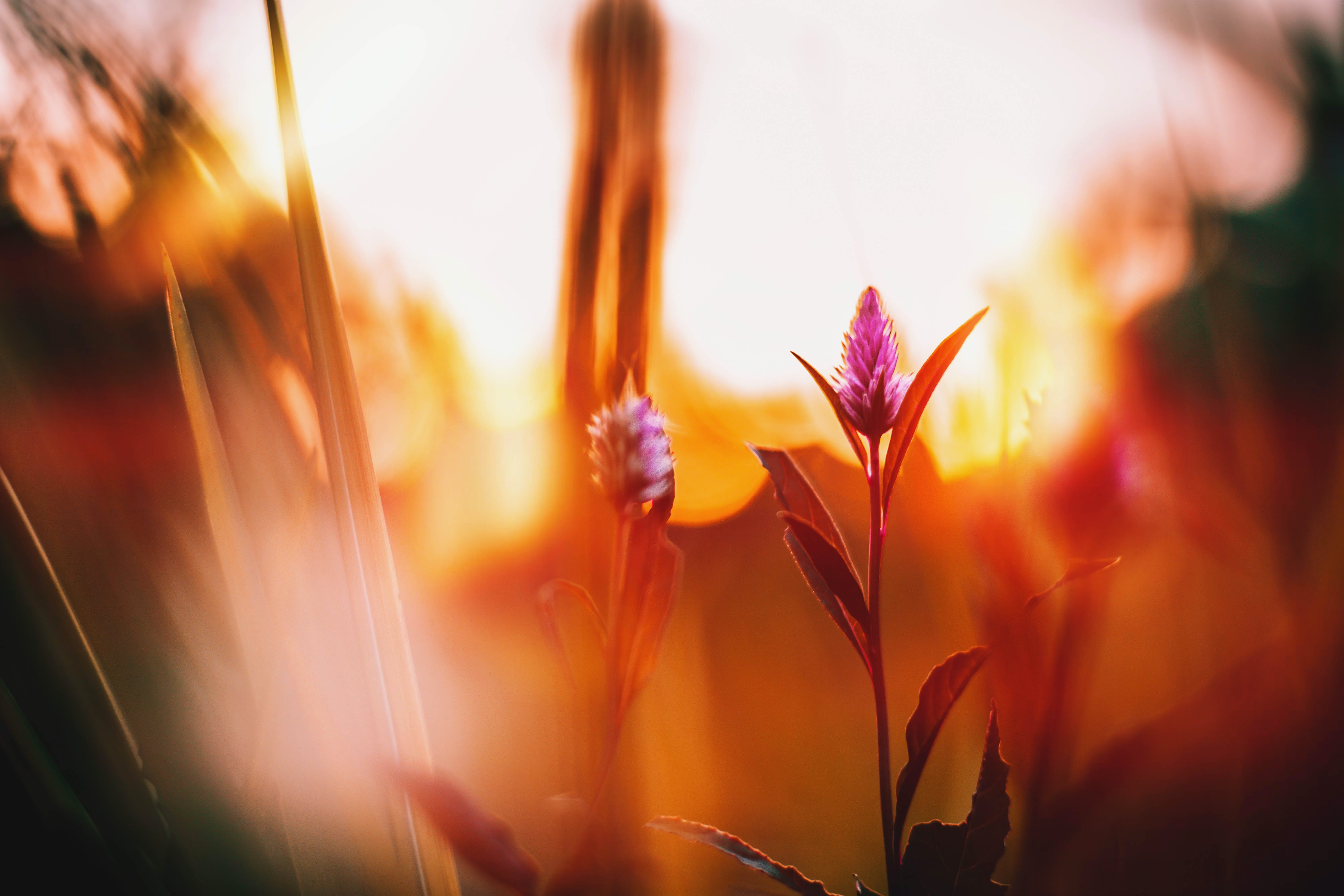 Celosia Flowers Photography