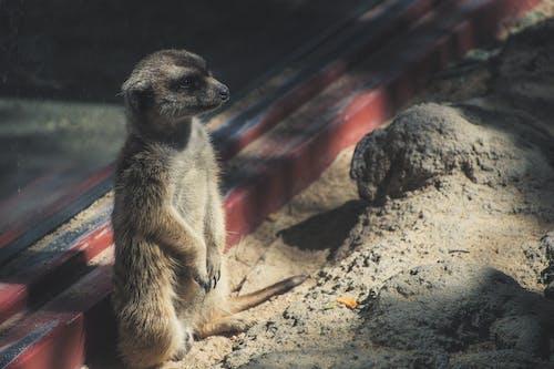 คลังภาพถ่ายฟรี ของ สวนสัตว์, สัตว์, สัตว์ป่า, เมียร์แคต