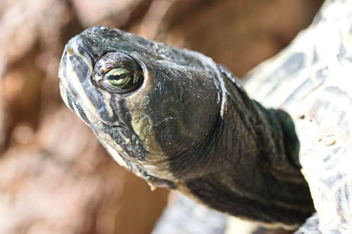 Close-up Photo Of Turtle's Head