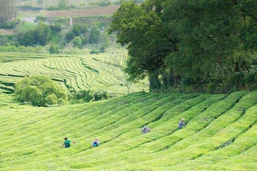 Ảnh lưu trữ miễn phí về Bồ Đào Nha, phong cảnh, san miguel, trồng chè