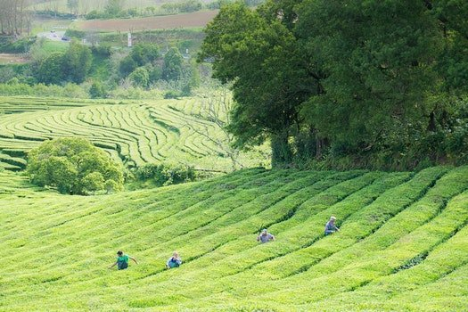 Free stock photo of landscape, portugal, tea plantation, San Miguel