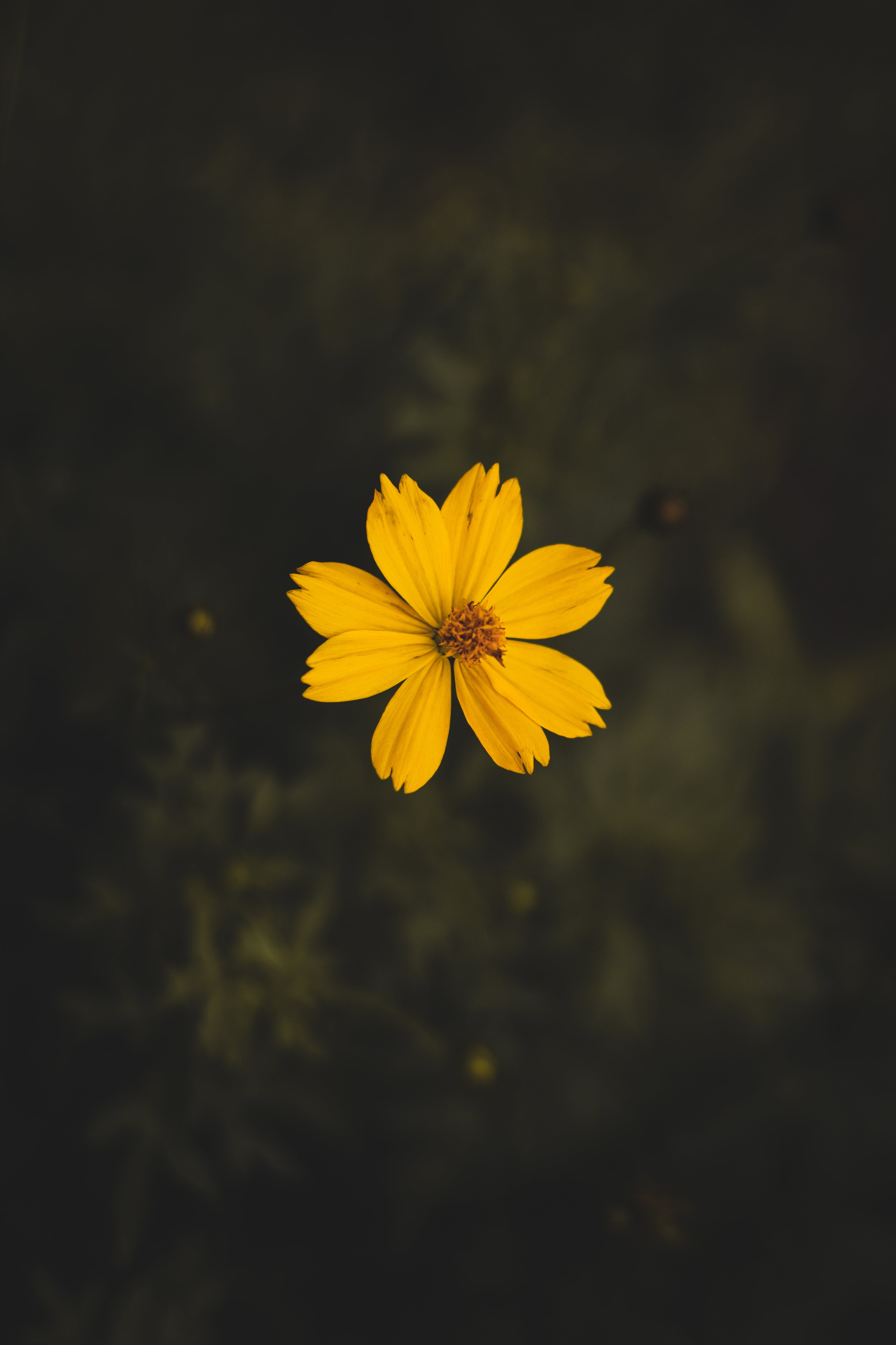 Yellow Cosmos Flower Close Up Photography