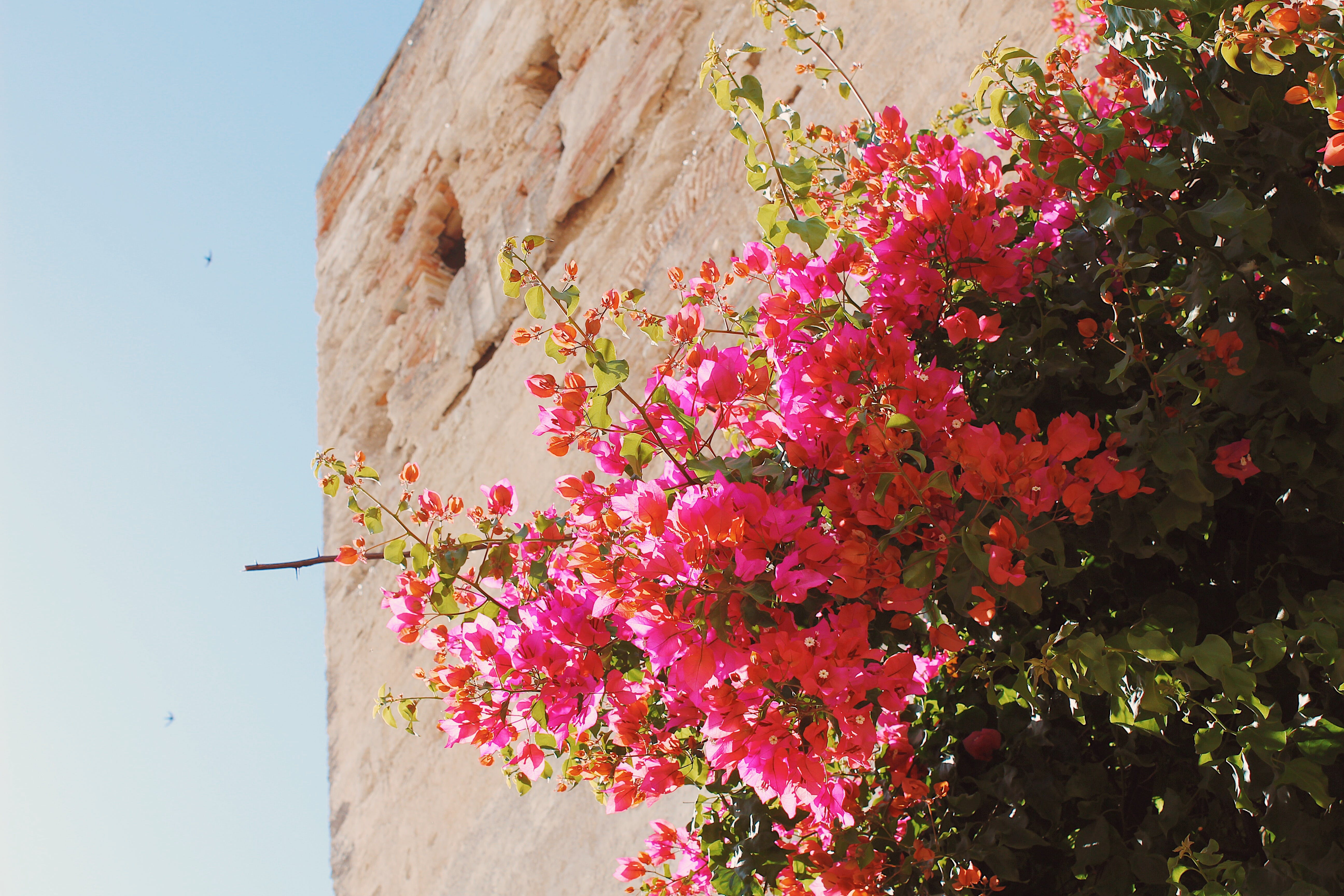 Pink Flowering Tree and Brown Concrete Building