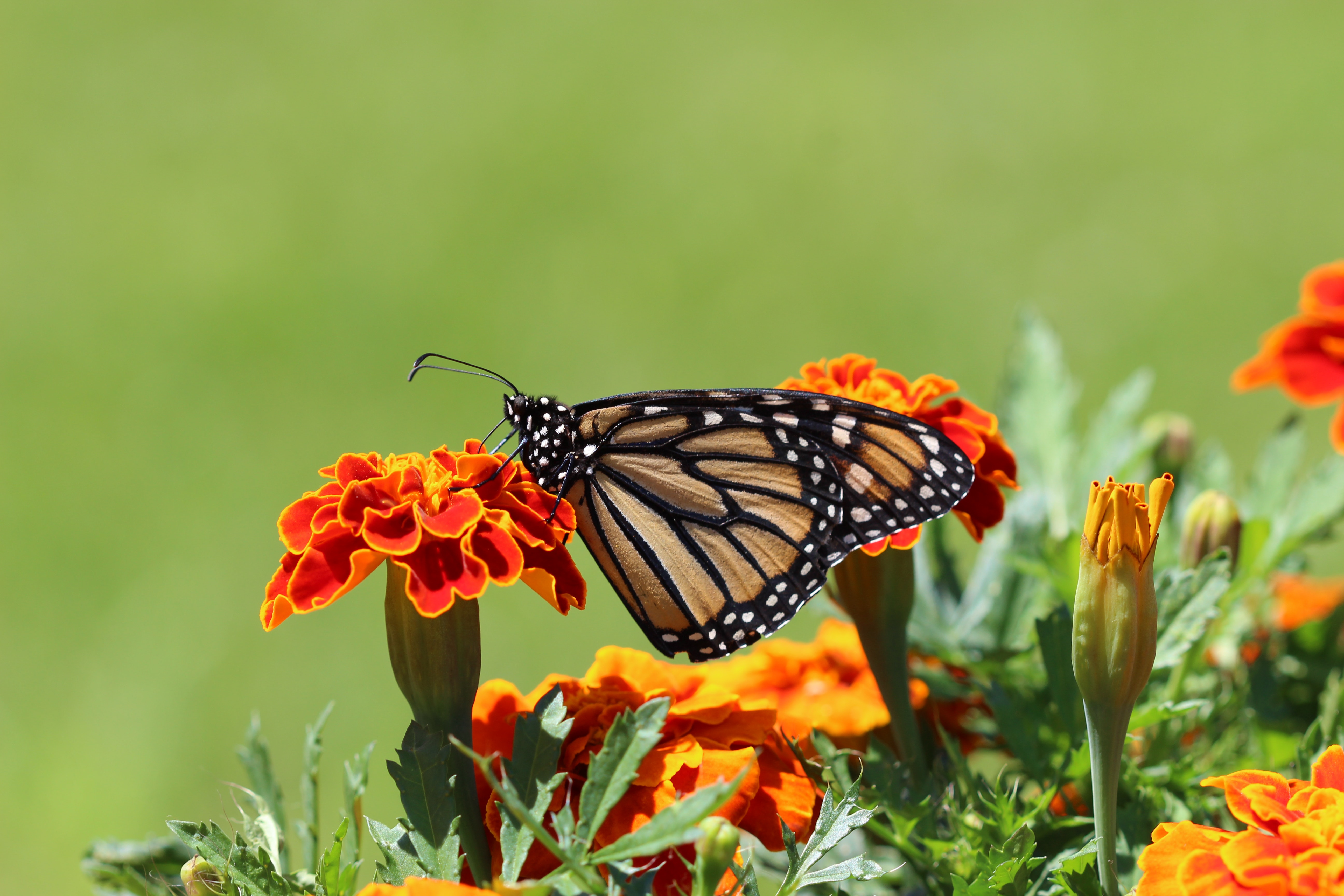 Selective Focus Photography Of Monarch Butterfly Perched On Marigold