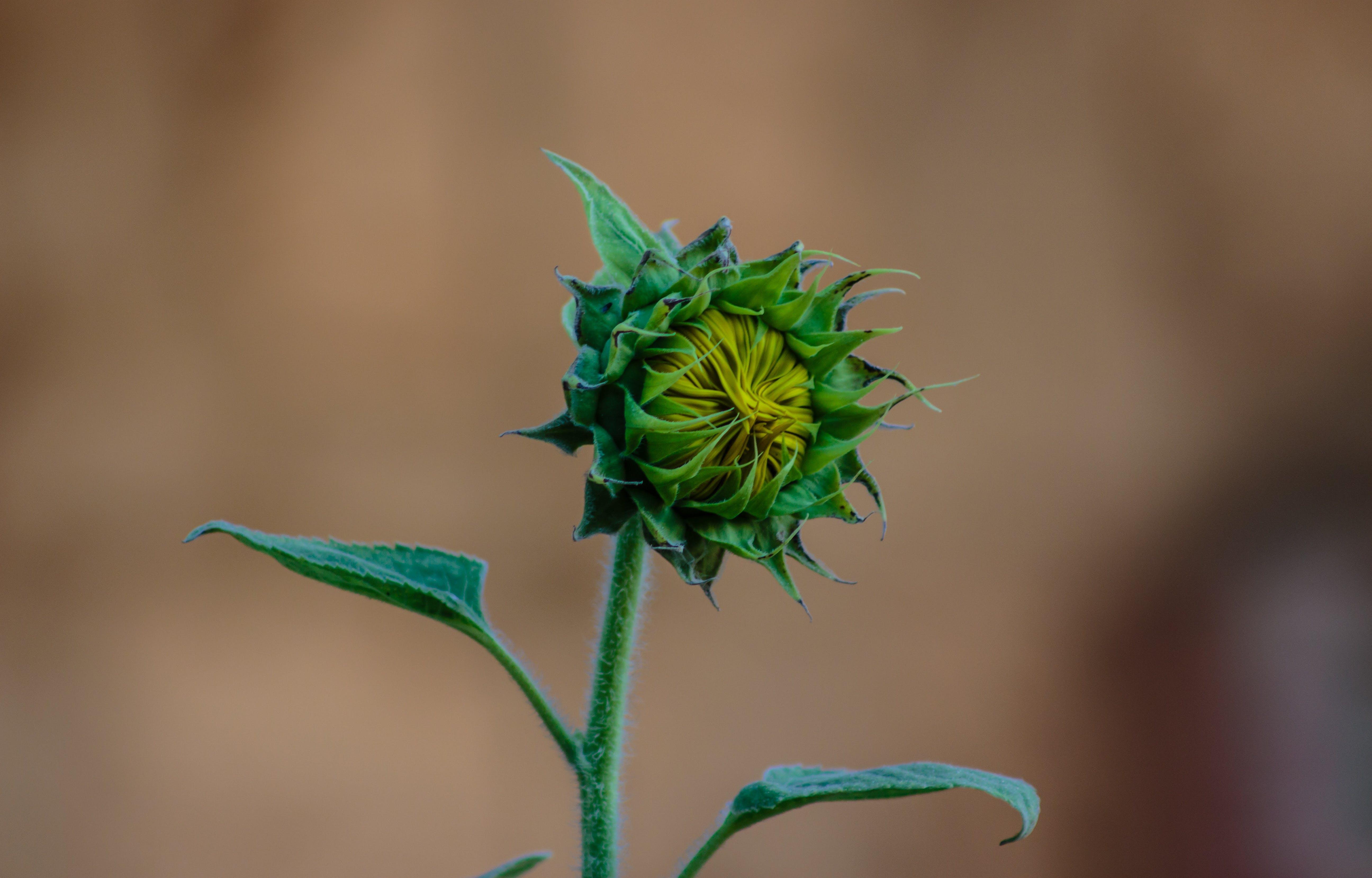 Green Sunflower Bud Macro Photography