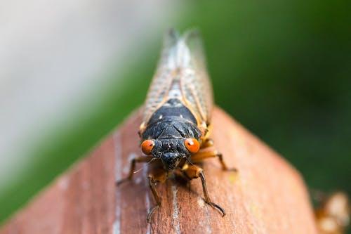 宏觀, 昆蟲, 特寫, 蟬 的 免費圖庫相片